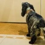Cómo adiestrar a un perro a no ladrar cuando se toca la puerta