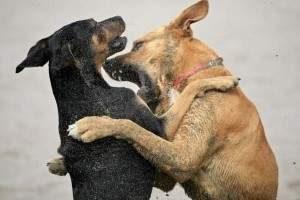 Que hacer con un perro agresivo