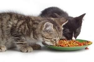 comida para gatitos: alimentación de un gato bebe - mascotas