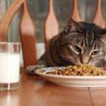 Comida para gatos: la alimentación de los gatos