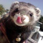 Hurón mascota: cuidados, precios, alimentación y características