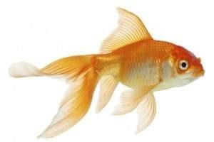 Peces de colores: cómo cuidar a un pez dorado - Mascotas