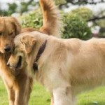 Raza de perro Golden Retriever: características, cuidados, adiestrar, cuánto vive