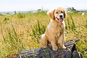 Perro Golden Retriever cuidados