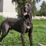 Raza de perro Gran Danés: características, cuidados, adiestramiento, cuánto vive