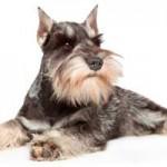 Raza de perro Schnauzer: características, cuidados,  adiestramiento, cuánto vive