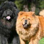 Raza de perro Chow Chow: características, cuidados, adiestramiento, cuántos años vive