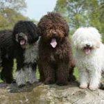 Raza de perro de Agua Español: origen, características, cuidados, adiestramiento, cuántos años vive