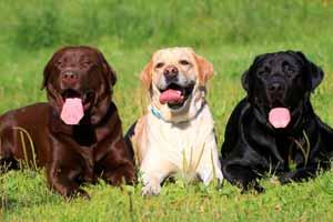 Perro Labrador Retriever características