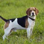 Raza de perro Beagle: características, cuidados, adiestramiento, cuántos años vive