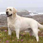 Raza de perro Labrador Retriever: características, cuidados, adiestramiento, cuántos años vive