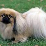 Raza de perro Pequinés: características, cuidados, adiestramiento, cuántos años vive