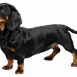Raza de perro Salchicha: características, adiestramiento, cuidados, cuántos años vive