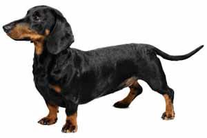 Raza De Perro Salchicha Características Cuidados