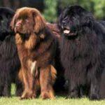 Raza de perro Terranova: características, cuidados, adiestramiento, cuánto vive