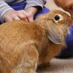 Ventajas y desventajas de tener conejos como mascotas