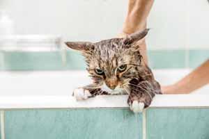 Por qué los gatos odian el agua