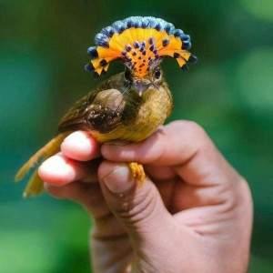 El ave mosquero real