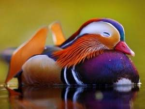 El pato mandarín