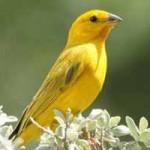 Canarios: características, tipos, razas y cuidados