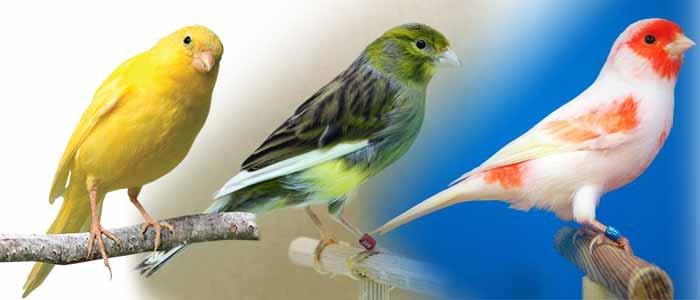 Canarios Características Tipos Razas Cuidados Mascotas